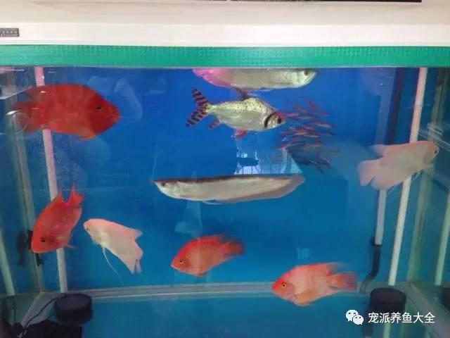 鹦鹉鱼和银龙鱼混养注意事项和视频欣赏