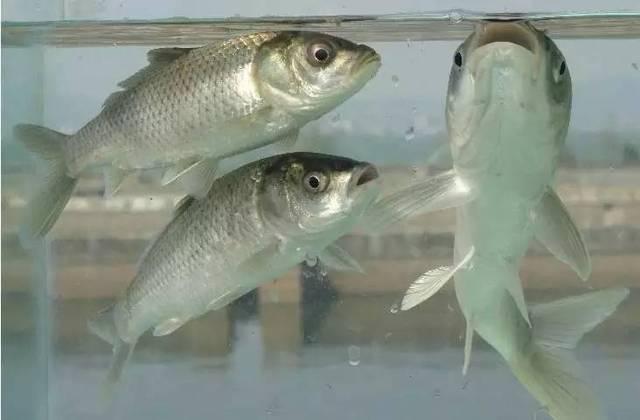 国家二级重点保护动物. 分布于云南各水系.国家二级重点保护动物.