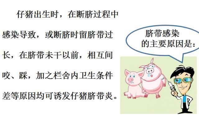 仔猪脐带易感染怎么办?