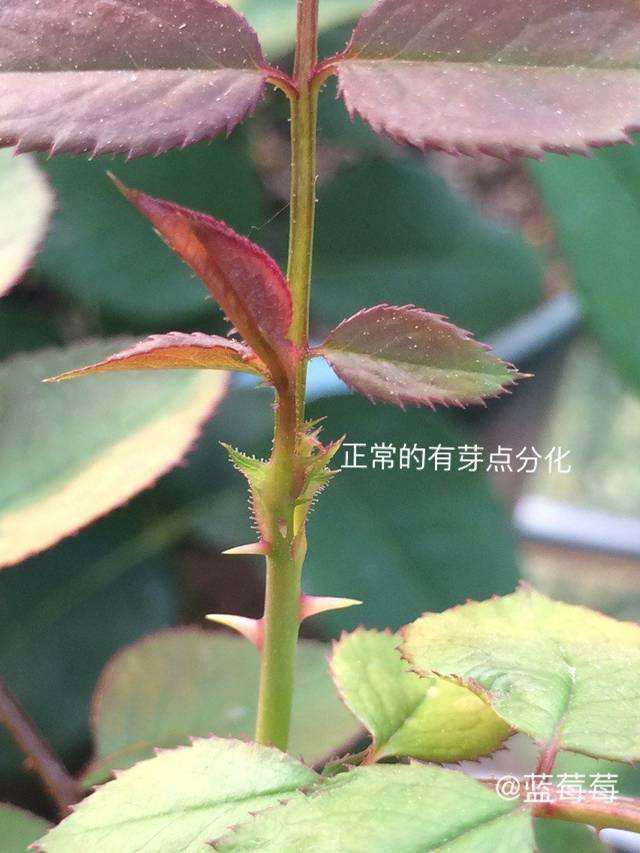 图解月季盲芽盲枝的修剪 达人分享