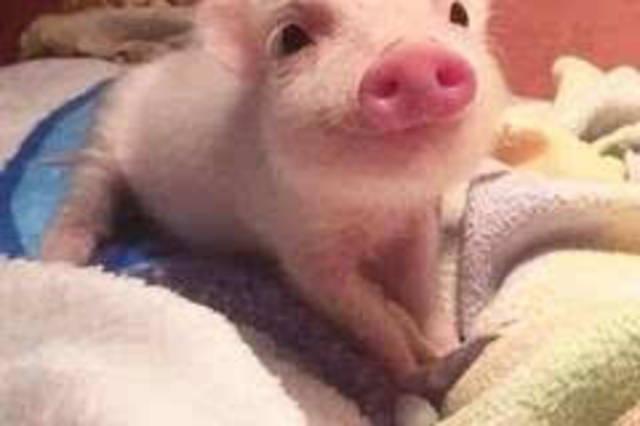 qq动物头像猪