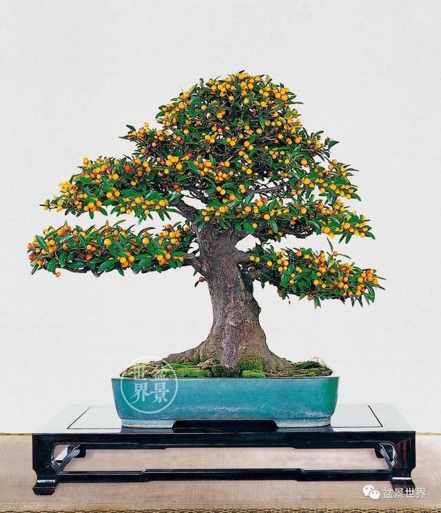 金豆盆景造型设计图片