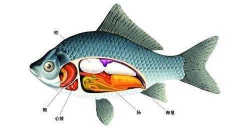 生活在水上的鱼,有心脏吗