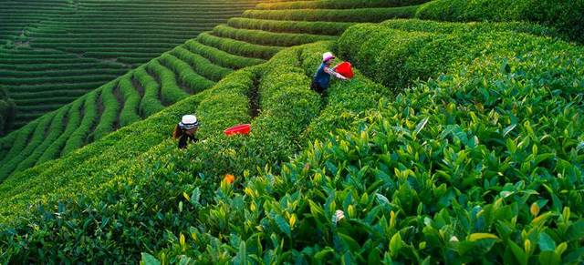 丽水香茶——聚天地之精华,纳山水之灵气