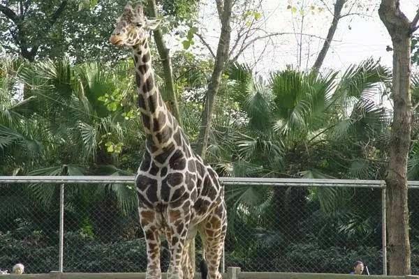 发仔觉得,成都动物园里最有看头的,就是长颈鹿!每只都帅爆了!