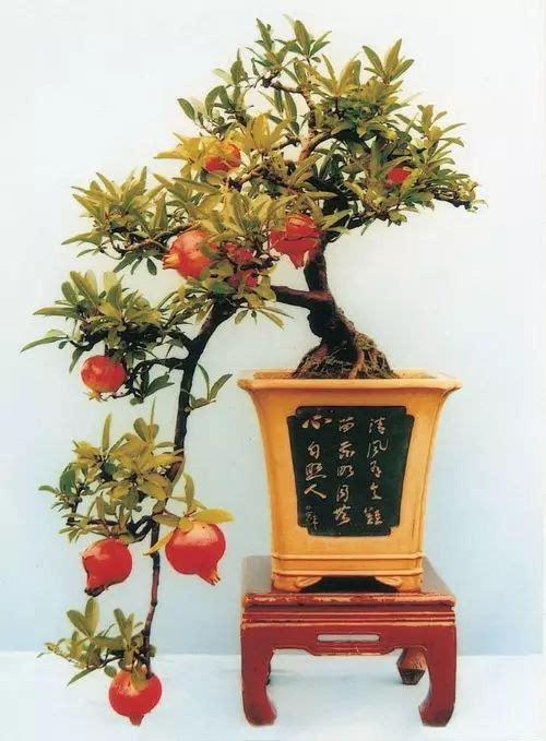 石榴盆景养护技巧及优秀作品鉴赏