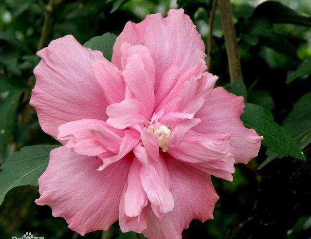 木槿花是韩国的国花.