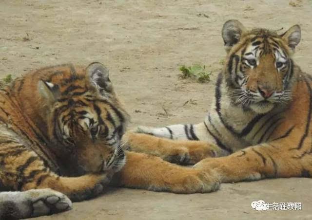 关注| 关于网曝濮阳市中心动物园动物生存环境, 濮阳林业在行动