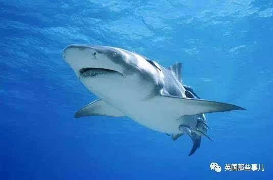 由于鲨鱼是卵胎生的动物,幼鲨在母体内发育到5个月左右就能成型