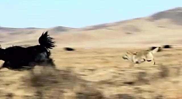 【重返狼群】不止是一部纪录片,一部电影,一部书图片
