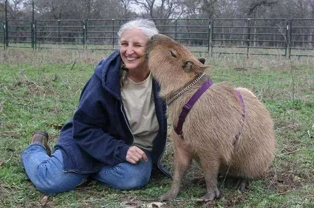 草老太_是一种半水栖的食草动物,也是世界上最大的啮齿动物.