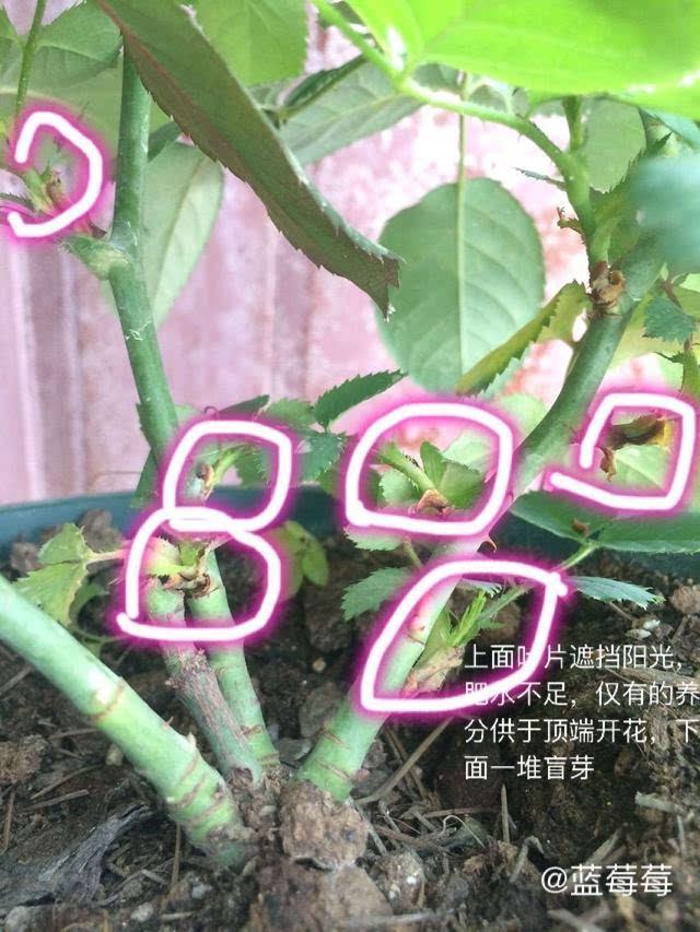 图解月季盲芽盲枝的修剪|达人分享