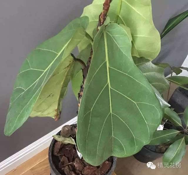 """绿植界新生代""""网红""""——琴叶榕,受宠的背后是什么?图片"""