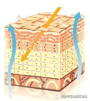 构成稳定的皮肤结构,保护皮肤屏障功能,有效防止体内水分过多蒸发同时
