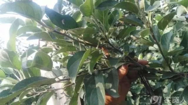 夏季苹果树修剪与病虫害防治大全