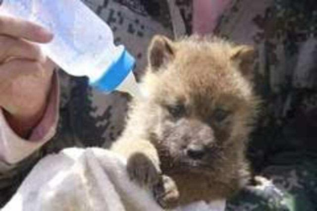 《重返狼群》她养大一只狼,送它重返狼群,4年后他们重逢了图片