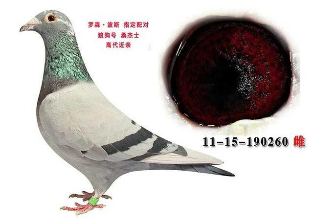 眼睛里有一半一半阳如果遇到这类的特殊鸽眼我们在种鸽选配前必须