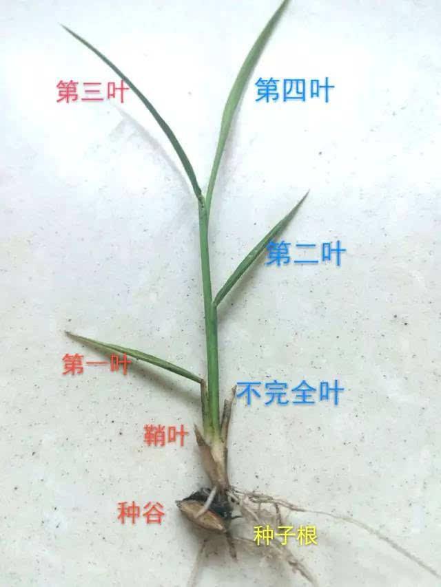 简单的水稻叶龄识别!
