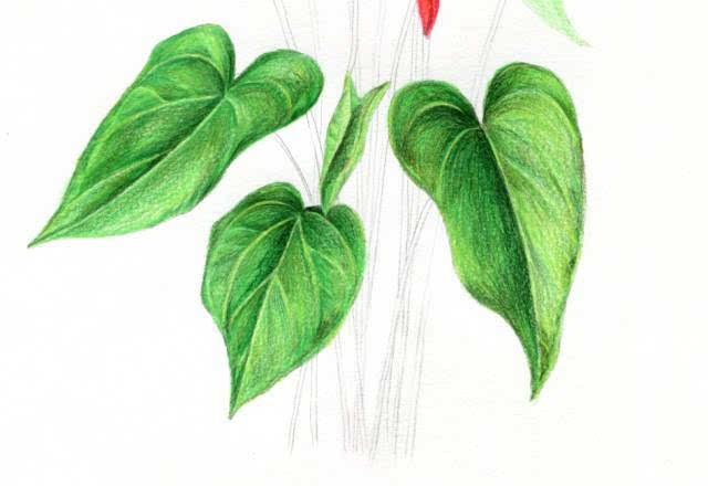 超详细的彩铅花卉教程,请务必收藏.
