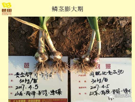 """【科学施肥】大蒜成长迎来了""""黄金时期"""""""