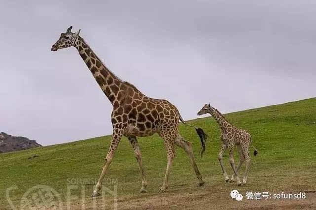 【sofun新闻】圣地牙哥野生动物园长颈鹿宝宝初亮相,卖萌撒娇超可爱!
