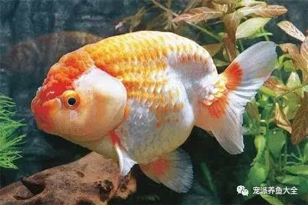 每日一鱼 金鱼之王 红白兰寿鱼饲养方法参考