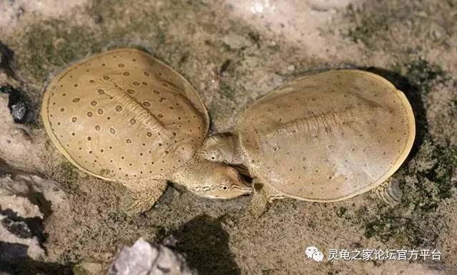 6,龟与鳖都是卵生动物,他们的蛋有壳,龟鳖妈妈每次生蛋数量很多,但