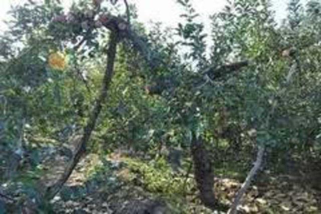 苹果树整形修剪十大误区