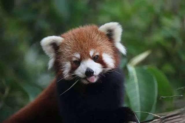 """90后彝族小伙耗时百余天 用圆木片作画向小熊猫嘟嘟""""表白"""""""