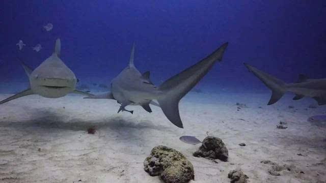 6.牛鲨是唯一一种能同时在淡水和海水里生存的鲨鱼