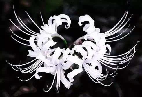守护彼岸花的是两个妖精,一个是花妖,曼珠,一个是叶妖,沙华.