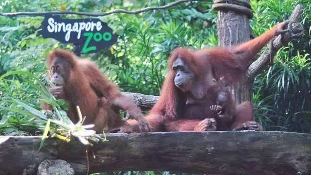 老爸有话说丨带着女儿私奔新加坡【野生动物园篇】