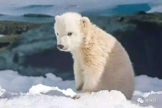 """黄金海岸主题公园""""小熊幼儿园""""迎来北极熊宝宝"""