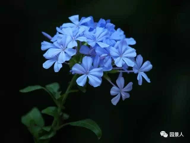 ↓蓝雪花 白花丹科 蓝雪花属ceratostigma plumbaginoides bunge