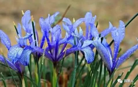 ↓马蔺 白花丹科 蓝雪花属iris lactea pall. var. chinensis (fisch.