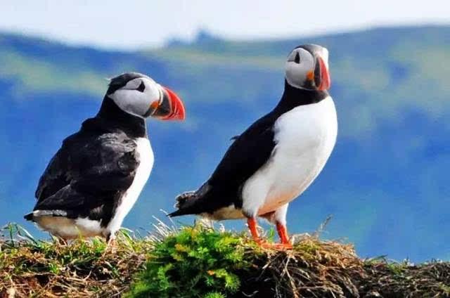 太���#�.b:)��a�_这是海鹦,小朋友们应该不太能见得到,它是冰岛的国鸟哦,它很会抓鱼呢.
