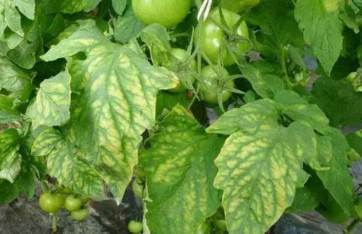 植物缺磷时植株生长缓慢矮小苍老茎细直立分枝或分蘖较少叶小图片