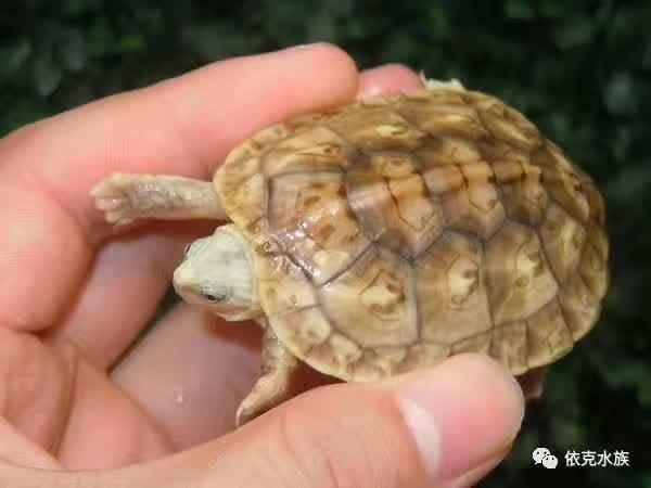 哪些爬行动物适合当宠物饲养?水龟篇