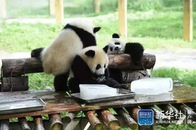 """重庆动物园去年出生的三只大熊猫宝宝""""渝宝""""""""渝贝""""""""良月"""",今年夏天首"""