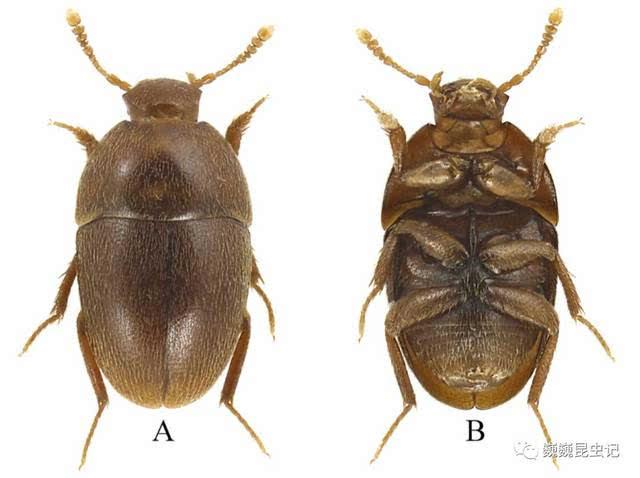 天马华冥小葬甲 Sinobathyscia tianma Wang, Perreau, Rika & Song, 2017 A-B:正模式标本, C-D:副模式标本, (引自原文) 体形娇小,藏身朽木 微小的身躯,暗淡的颜色,即便是在显微镜下,这种卵圆形的小甲虫也难以引起人们的注意。就是从头到尾拉直了测量,它的身高也只有区区1.