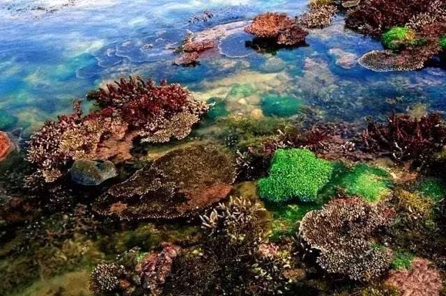 涠洲岛的珊瑚礁的种类分布兼热带珊瑚和亚热带珊瑚.