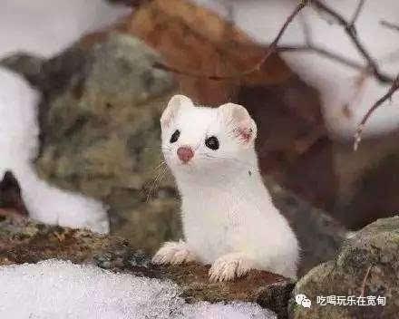"""体型最小的食肉目动物, 最大的毛病是""""无法停止猎杀"""""""