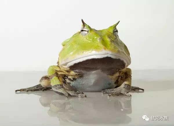 有哪些爬行动物适合当宠物饲养?角蛙蝾螈类