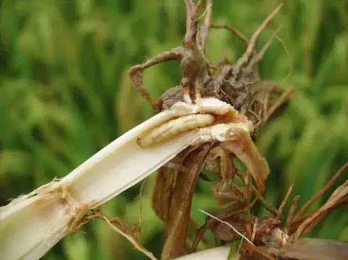 水稻生长过程中出现枯心苗 是何原因?图片
