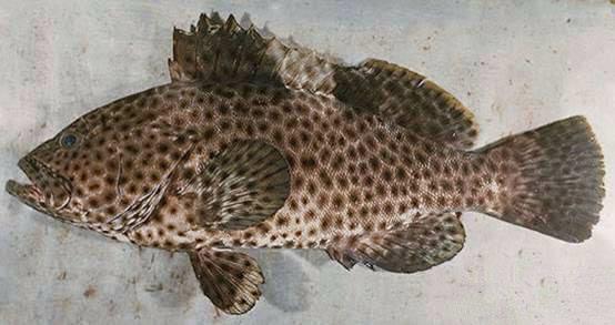 68 鲑鱼—马哈鱼—三文鱼