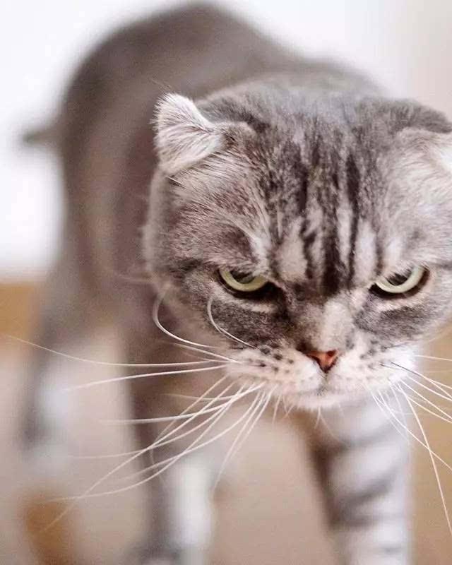 一只表情随时都在生气的霸道总裁喵,这气场真的没谁了!