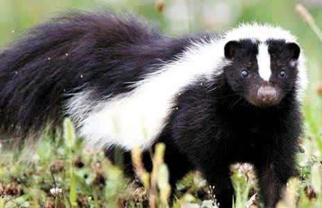 平头哥学名蜜獾,属于鼬科食肉类动物,食物链从上至哺乳动物,昆虫,下