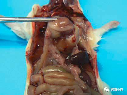小鼠脾脏的组织学
