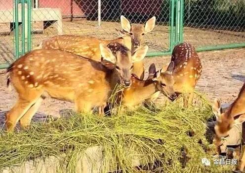 你知道吗?全国80%动物园里的动物是吃永昌牧草长大的!