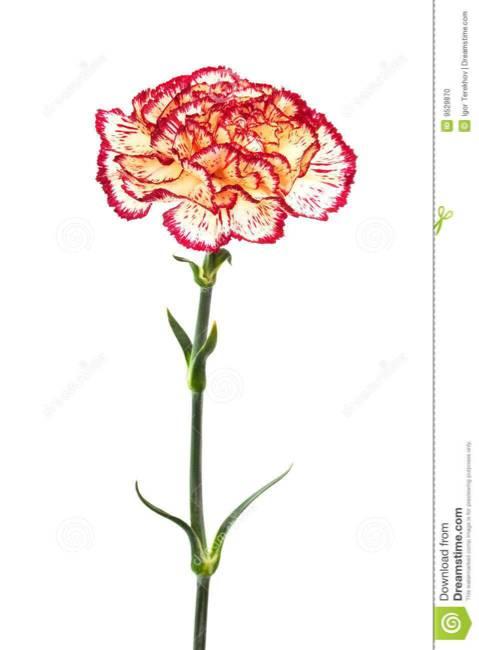 折纸花步骤图解康乃馨